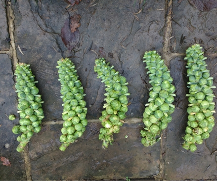Brussel Sprouts - super compost and biochar test results - just in time for Christmas lunch!